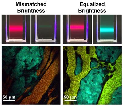 Left: Conventional fluorescent materials like quantum dots and dyes have mismatched brightness between different colors. When these materials are administered to a tumor (shown below) to measure molecular concentrations, the signals are dominated by the brighter fluorophores. Right: New brightness-equalized quantum dots that have equal fluorescence brightness for different colors. When these are administered to tumors, the signals are evenly matched, allowing measurement of many molecules at the same time.