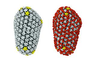 The naked HIV capsid, left, would be quickly detected and eliminated from the cell, but a host protein, cyclophilin A, in red in the image on the right, binds to the capsid and enables it to transit through the cell undetected. 