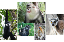 Endangered nonhuman primates include, clockwise from top center, the black and white snub-nosed monkey (photo: Paul Garber), the ring-tailed lemur (photo: Matthias Appel), the golden snub-nosed monkey (photo: Paul Garber), the mountain gorilla (photo: Ruggiero Richard) and the northern white-cheeked gibbon (photo: Fan Peng-Fei).