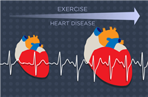 The heart enlarges in response to growing demands from exercise or heart disease. A new study identifies a key molecular player in this process. (Graphic by Julie McMahon.)
