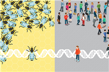 Socially unresponsive bees share something fundamental with autistic humans, new research finds. (Graphic by Mirhee Lee.)