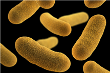 Disease-causing bacteria like <i>Yersinia enterocolitica</i>, pictured, communicate with chemical signals that allow them to respond collectively to environmental changes. Researchers hope to harness these signals to fight bacterial infections.