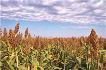Sorghum is one of the most efficient crops in conversion of solar energy and use of water, making it an ideal crop to target for research and improvement. (Image courtesy of Donald Danforth Plant Science Center.)