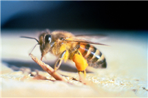 Study reveals that Africanized bees in Puerto Rico have evolved into a gentler insect. (Photo by Jeffrey W. Lotz, Florida Department of Agriculture and Consumer Services.)