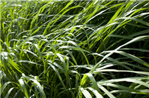 University of Illinois research project Renewable Oil Generated with Ultra-productive Energycane (ROGUE) will transform energycane and Miscanthus (pictured) into sustainable sources of biodiesel and biojet fuel with support from the U.S. Department of Energy. (Photo by Don Hamerman/University of Illinois.)