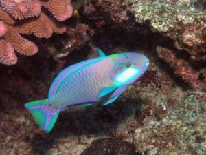A Bleeker's Parrotfish (Chlorurus bleekeri), swimming in front of coral in Fiji,  is an example of a four-bar linkage. Image credit: Image reef4416 from NOAA's Coral Kingdom Collection by Julie Bedford. (Public domain, U.S. Federal Government).
