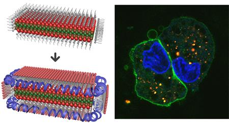 A new composite material has been made by entrapping crystalline sheets called nanoplatelets into lipoprotein nanoparticles. These lipoprotein nanoplatelets are brightly fluorescent and enter cells rapidly.