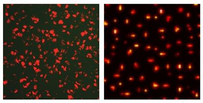 Left: Representative fluorescent image of a stochastic Turing pattern of signalling molecules in a biofilm of forward-engineered <em>E. coli</em> cells.  The field of view is about 300 microns across.  Right: Computer simulation of a stochastic Turing pattern with parameters corresponding to the experimental conditions. The simulation region is smaller than that of the experiment, but the statistical properties of the patterns are in agreement with those of the experiment. Credit: D. Karig, K. M. Martini, T. Lu, N. DeLateur, N. Goldenfeld, R. Weiss.