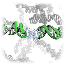 Illustration of an end-to-end interaction of duplex DNA
