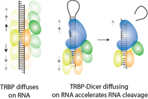 When coupled with the cleavage enzyme, Dicer, TRBP's diffusional behavior is capitalized on achieving accelerated cutting of the RNA
