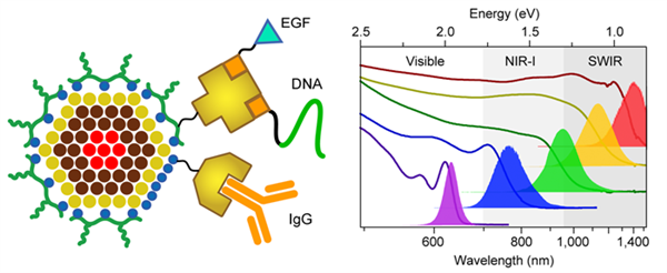 In this schematic provided by the authors, the left panel shows the structure of a quantum dot, which can be attached to peptides like EGF, to DNA, and to IgG antibodies, allowing labeling of specific molecules in cells and tissues. The right panel depicts optical spectra of 5 different VIR-QDs, showing the wavelengths and energies of light absorption (solid lines) and light emission (filled curves). VIR-QD emission can span the visible spectrum, near-infrared-I spectrum, and short-wave infrared spectrum.