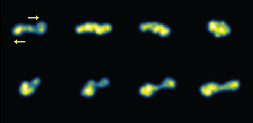 Single molecule images of fluorescently-labeled ring DNA viewed in the flow-gradient plane of shear flow. The flow field direction is given by the yellow arrows. These experiments directly reveal the tumbling motion of individual ring polymers in shear flow.